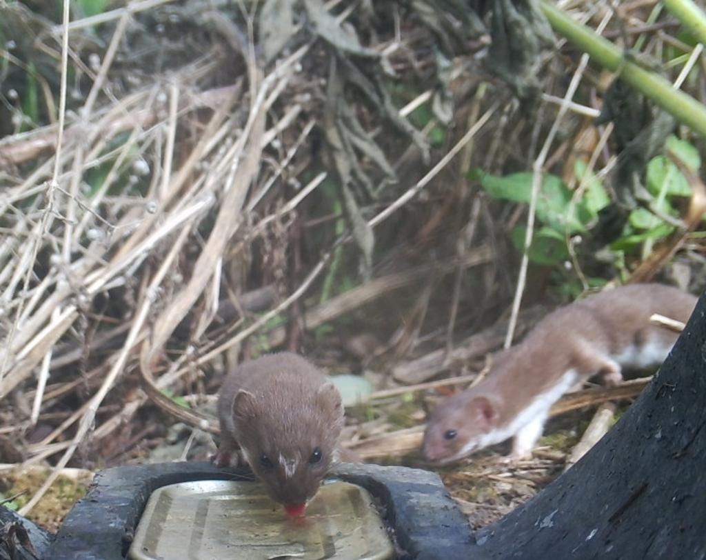 Twee wezels komen op de geur van het blikje vis af. Een bruine rat lusten ze ook wel. Foto: Wildcamera Natuurwacht Bommelerwaard © DPG Media