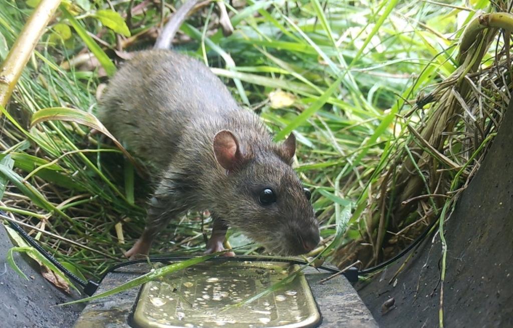 Wat ruik ik? De bruine rat heeft het blikje vis snel in de smiezen. Foto: Wildcamera Natuurwacht Bommelerwaard © DPG Media