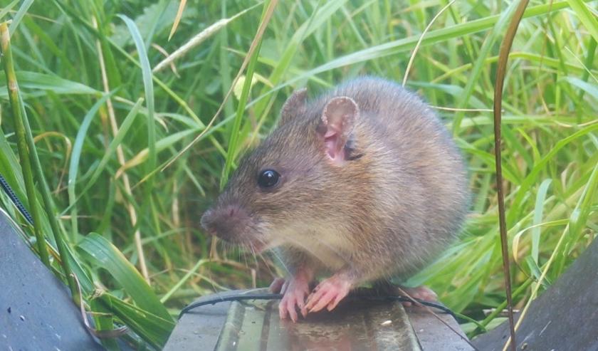 De Werkgroep Kleine Marterachtigen Bommelerwaard plaatste diverse wildcamera's. De bruine rat liet zich vaak zien.