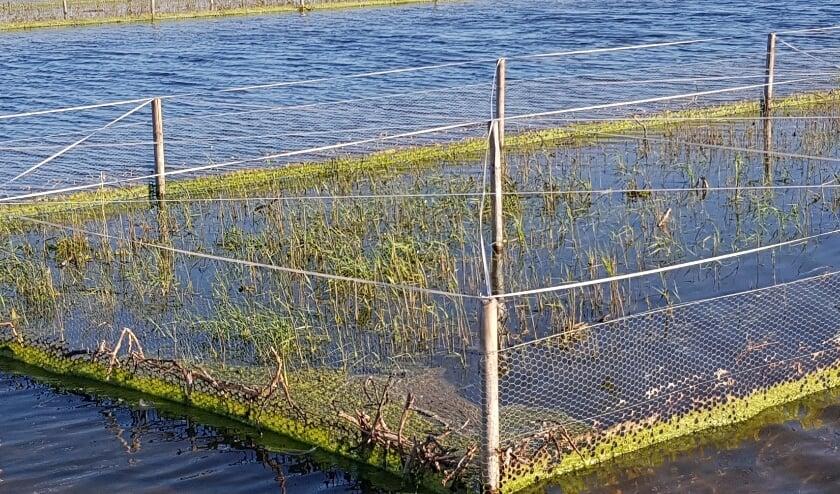 Bij de Aerdtse brug in het Rijnstrangengebied is onlangs het gebied waar rietvogels broeden flink uitgebreid.