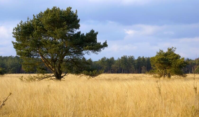 Een vrijuit gegroeide grove den, de vliegden, met op de achtergrond de rechte groeivorm. FOTO: Gerard Lijten.