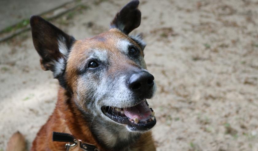 Rex is een gezellige Mechelse Herder. Hij is 12 jaar oud.