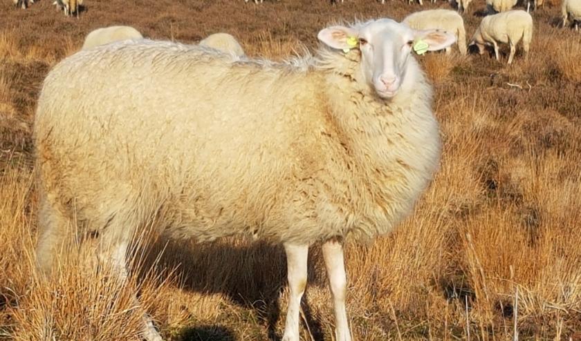 De schapen gaan elke dag met herder en honden naar de heide.