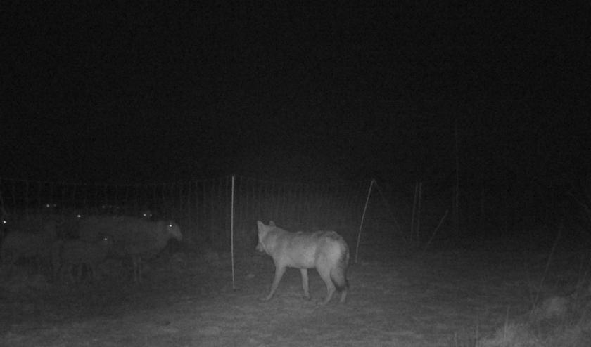 De wolf is al meermaals vastgelegd op camera. Op deze nieuwe beelden van een camera op de Veluwe is duidelijk te zien dat de genomen wolfwerende maatregelen effectief zijn. (foto: Zoogdiervereniging)