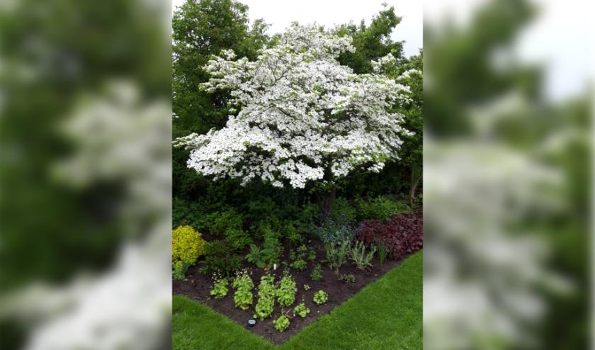 De Cornus florida staat nu bijna 20 jaar in deze tuin, groeit langzaam en is nu tussen de 4 en 5 meter hoog.