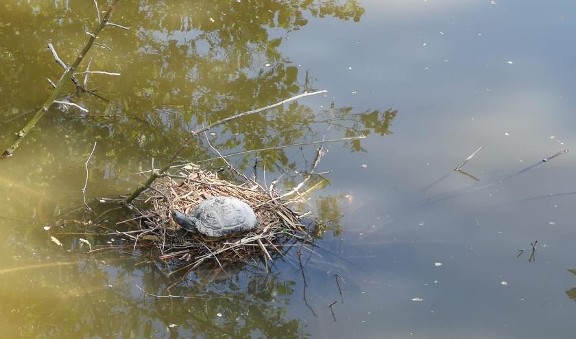 Schildpad op een meerkoetnest in het Hof van Delftpark in Delft. Foto: Annemarie Oorthuizen