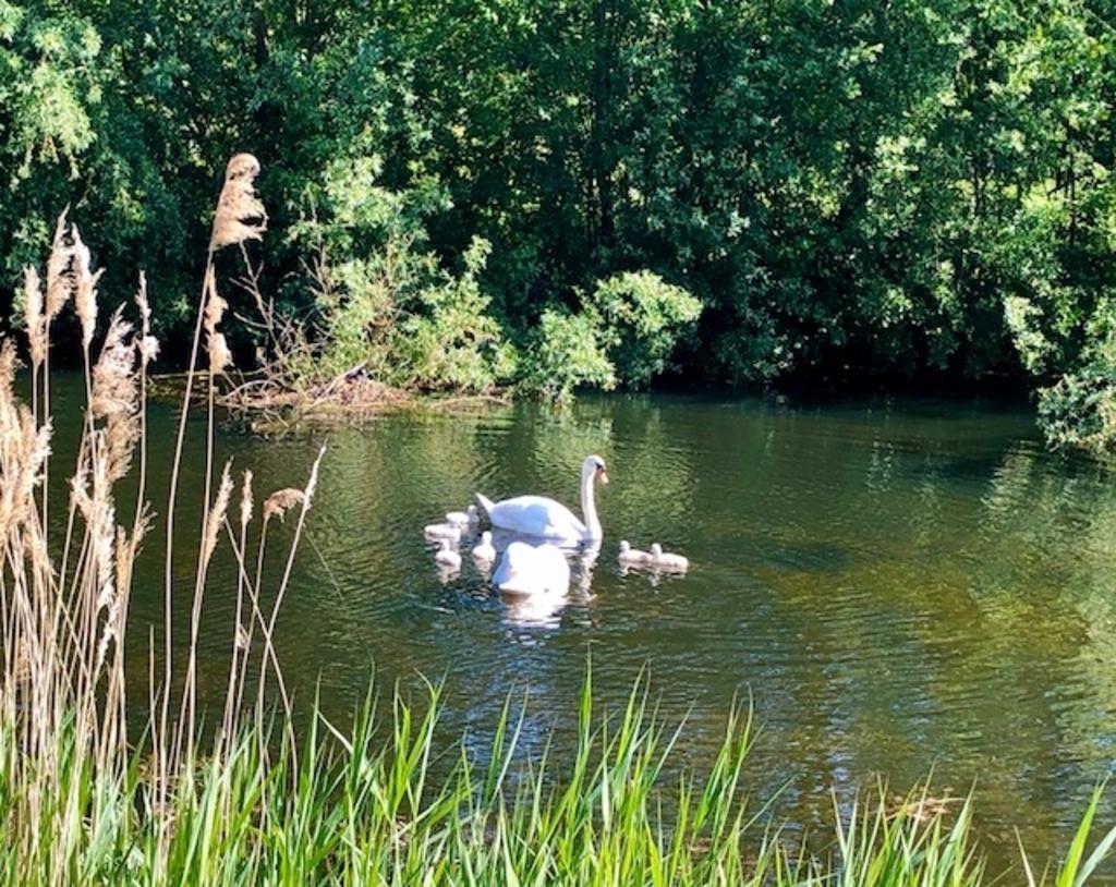 Ook Natalie Homan kwam de zwanenfamilie tegen tijdens een wandeling langs de Weustevijver.   © DPG Media