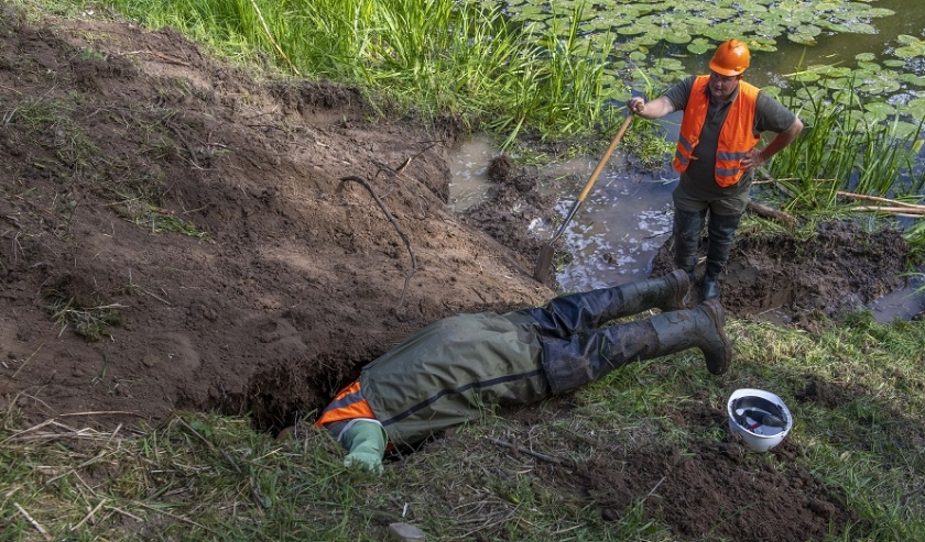 Waterschap Rivierenland heeft in de Waaldijk nabij Dodewaard enkele gangen uitgegraven van een bever. Voor ingrepen als deze moet het nieuwe beverprotocol gaan gelden.