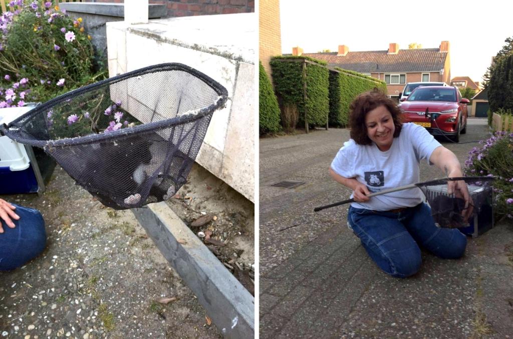 Hebbes! Het kitten is gevangen met een schepnet! Foto: Stichting Zwerfkatten Rijnmond © DPG Media
