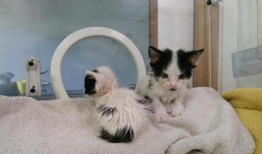 Twee van de vier kittens die in de Schilderswijk werden gevonden. Eén is er inmiddels overleden.