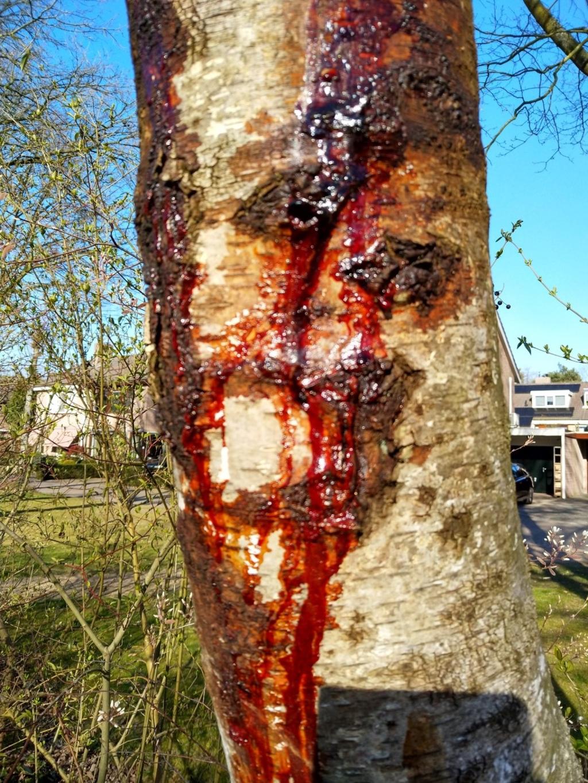 De bloedende berkenboom voor het huis. Foto:  © DPG Media