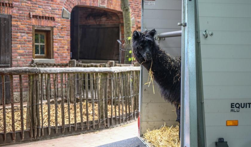 Voor de nu nog naamloze alpaca was alles in het begin nog een beetje onwennig. De jonge alpacahengst arriveerde vorige week in Nordhorn en is afkomstig van Zoo Duisburg. (Foto: Wilfried Juerges)