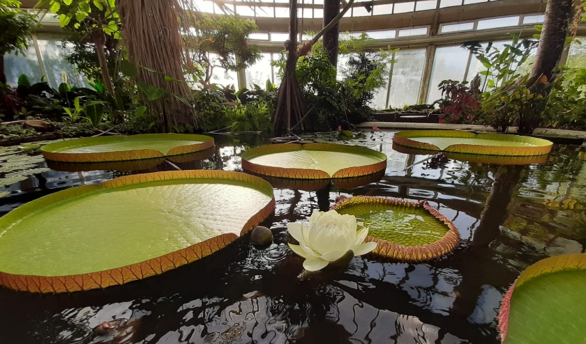 Reuzenwaterlelies hebben een lange geschiedenis in Diergaarde Blijdorp. Foto: Diergaarde Blijdorp