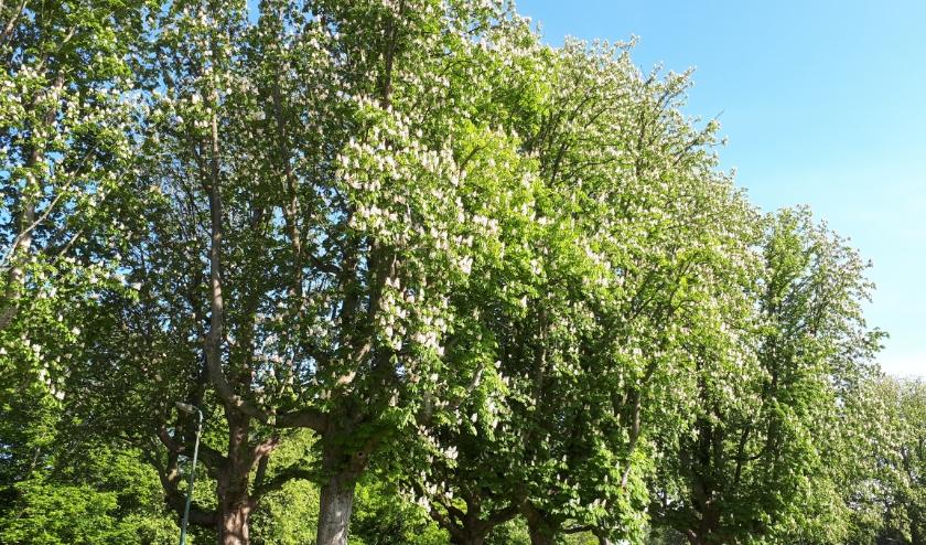 Het mooie van het Exercitieveld zijn de kastanjebomen, zeggen omwonenden. Zij willen dat de 43 reuzen blijven staan. Foto: Henk Wit
