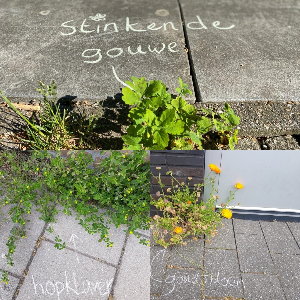 Stoepplantjes: Stinkende Gouwe, Hopklaver en Goudsbloem Foto: Myra van der Velde © DPG Media