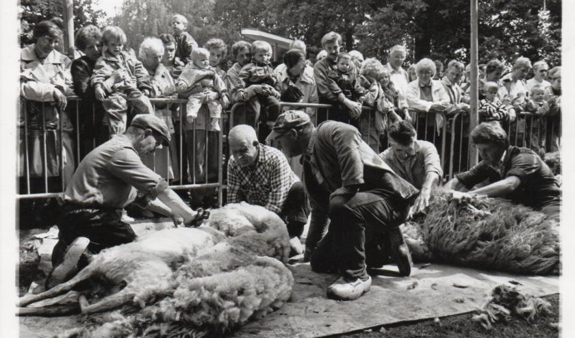 In 1990 werden de schapen met de hand geschoren, dit jaar gaat het zonder publiek en elektrisch gebeuren.