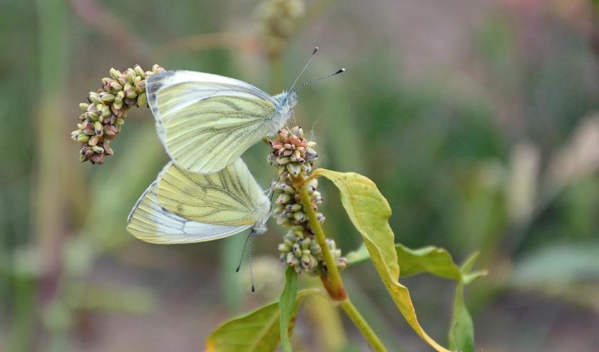 Eerst zie je overal vlinders, dan niet meer. Waar komt die vlinderdip vandaan? Foto: H. van Eijck