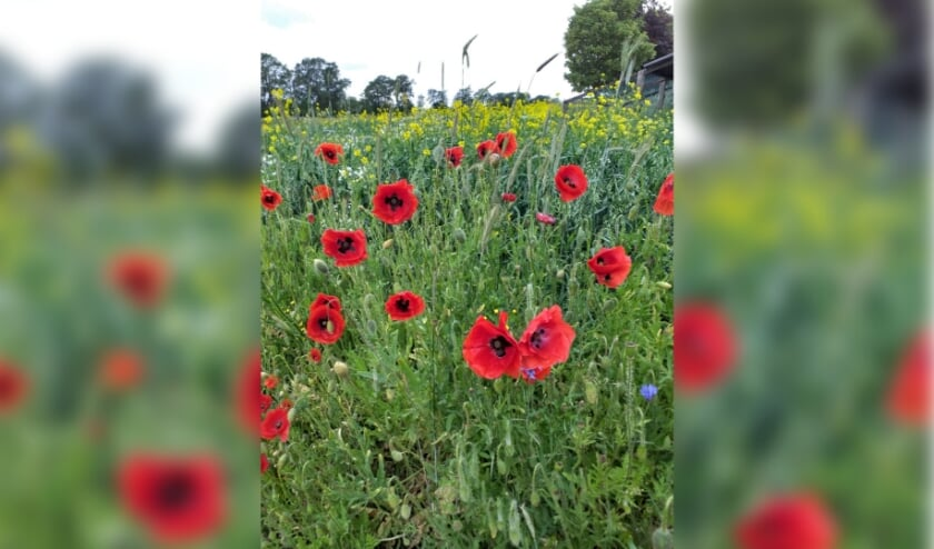 De bloeiende akkerrandjes, landschappelijk heel aantrekkelijk, maar ook nuttig voor bijen, insecten, vlinders en vogels.