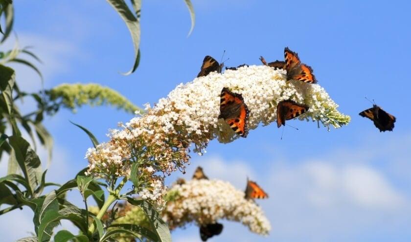 Kleine Vossen op een Vlinderstruik. Foto: Ben Haven