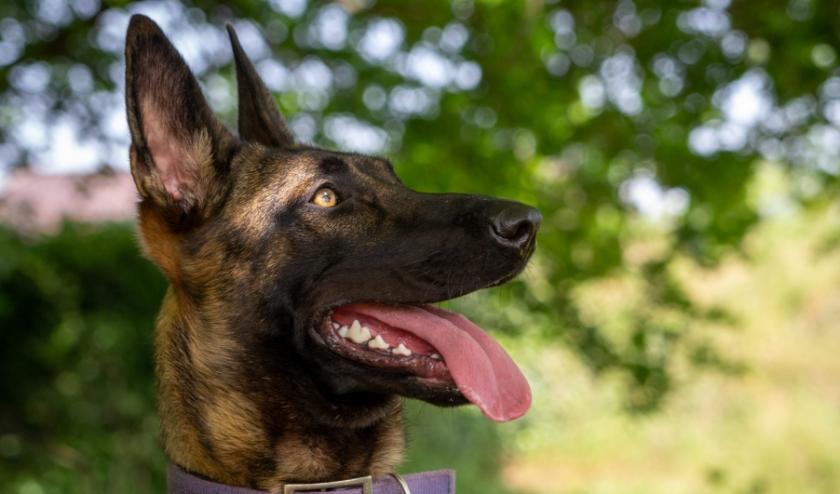 Wicky is een fantastische lieve hond volgens het opvangcentrum. Foto: Dierenbescherming.