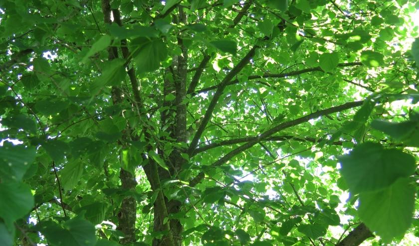 De kruin van de linde is heel dicht, hij geeft slechts op sommige plekken zicht op zijn binnenste. Je moet dus goed zoeken om er de vogels te vinden.