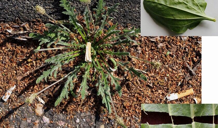 Hertshoornweegbree. Rechtsboven: blad grote weegbree, rechtsonder: vaatbundels in nerven.