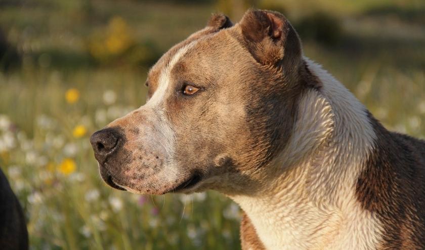 Hond.