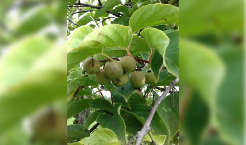 Een aanrader is een mini-kiwi of kiwibes; deze geeft gemakkelijker vruchten dan een gewone kiwi.