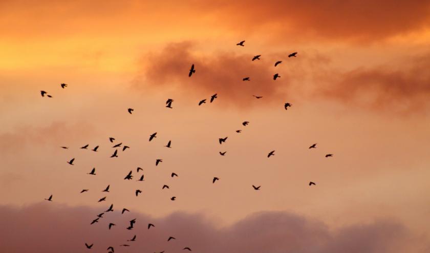 Een groep kauwtjes bij zonsondergang in Vlaardingen Holy (27 juli 2020) in de vogelbuurt)
