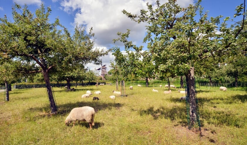 <p>Montfoort 06-06-2020 Grazende schapen in de boomgaard van het Stadspark</p>