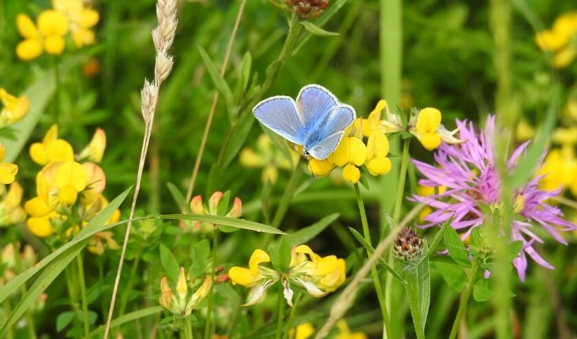 Het icarusblauwtje is een graag geziene gast in het Waalbos. (Foto: pr)