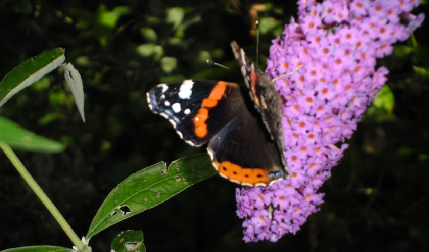 Atalanta op vlinderstruik.