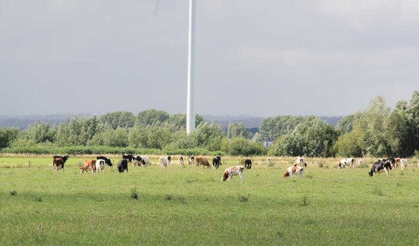 Grazende koeien in het Duivense Broek.