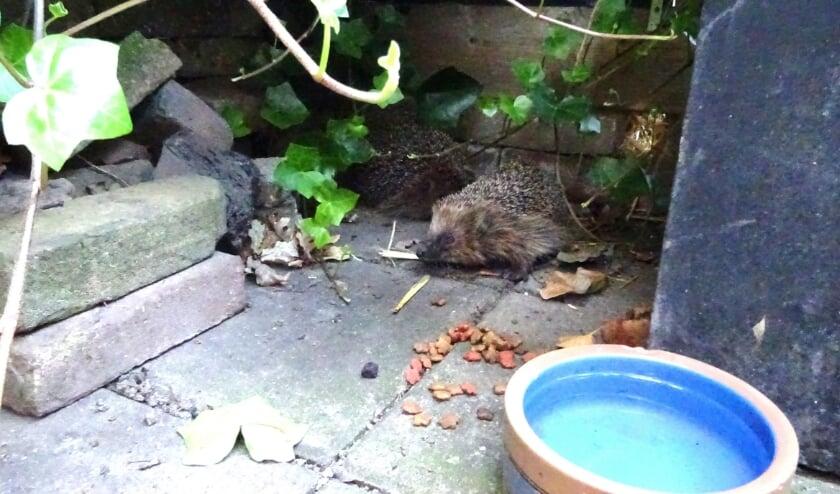 De twee egels in de tuin van Joe.
