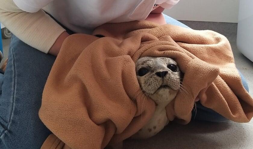 Het zeehondje bleek gezond. Hij kwam op een rustig stukje strand op adem.