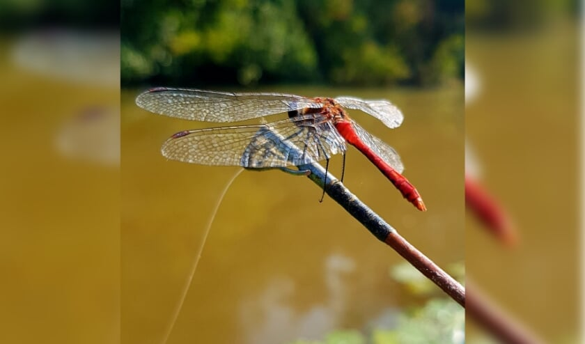 Deze Libelle is neergestreken op het puntje van een vishengel. Foto: Peter Verhoeven
