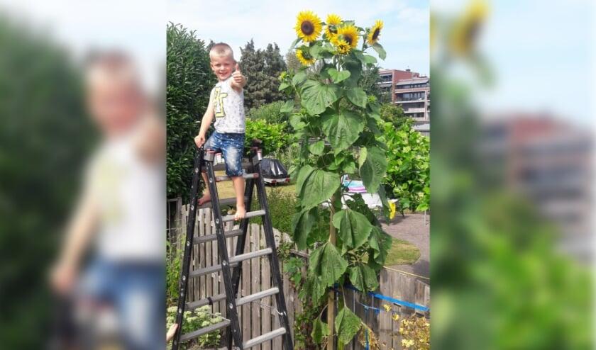 Jay van de Haar (5) uit Veenendaal kan zijn geluk niet op: na een slechte start groeide zijn zonnebloem naar liefst 4 meter hoogte!