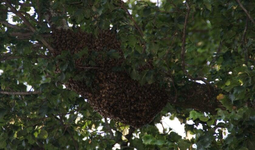 Deze imposante zwerm bijen streek neer in een boom in Montfoort. Mooi om te zien, maar toch ook prettig als een imker zich erom bekommerd. (Foto: Marianne van Mansom)