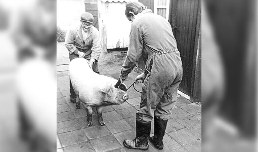 <p>Peter van de Ven aan het werk als thuisslachter, samen met zijn vader Jan van de Ven. FOTO: St. Zeelst Schrijft Geschiedenis. </p>