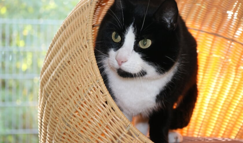 <p>e zwart-witte kater Skunk is afgestaan nadat het baasje verhuisd was van een bosgebied naar een woonwijk. </p>