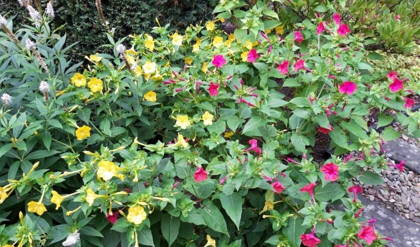 <p>Als uitsmijter van deze column heb ik een foto bijgevoegd van de vrij onbekende &lsquo;vier uur bloem&rsquo;, de Mirabilis jalapa ofwel Wonder van Peru. </p>
