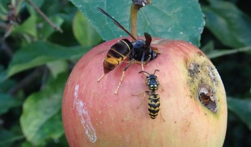 <p>De Aziatische hoornaar is twee keer zo groot als een 'gewone' wesp. Een steek van het insect is bij mensen echter vergelijkbaar met die van een gewone wesp.</p>