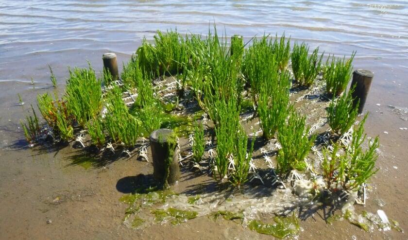 Salt marsh vegetatie ontwikkeling na plaatsing van BESE-elements.