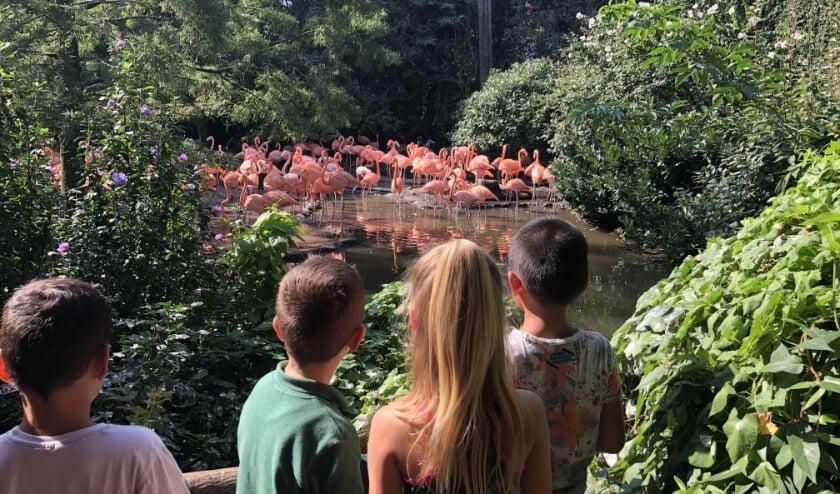 Alle aandacht voor de rode flamingo's.