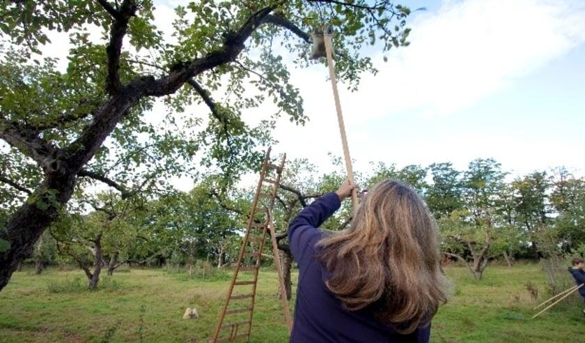Deelnemers kunnen in de boomgaard zélf fruit plukken om thuis een appel- of perentaart te  maken. Eigen foto