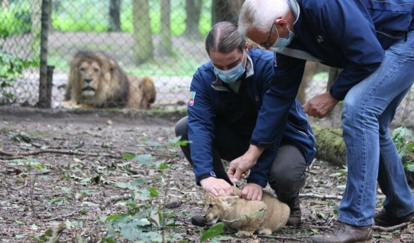 De leeuwtjes krijgen een inenting en ontwormingskuur, niet zoveel anders als de kat thuis.