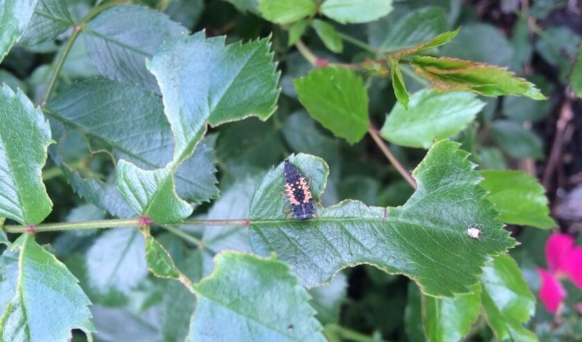 <p>De larve van het lieveheersbeestje eet ongeveer 100 bladluizen per dag. Foto: Margareth van der Horst</p>