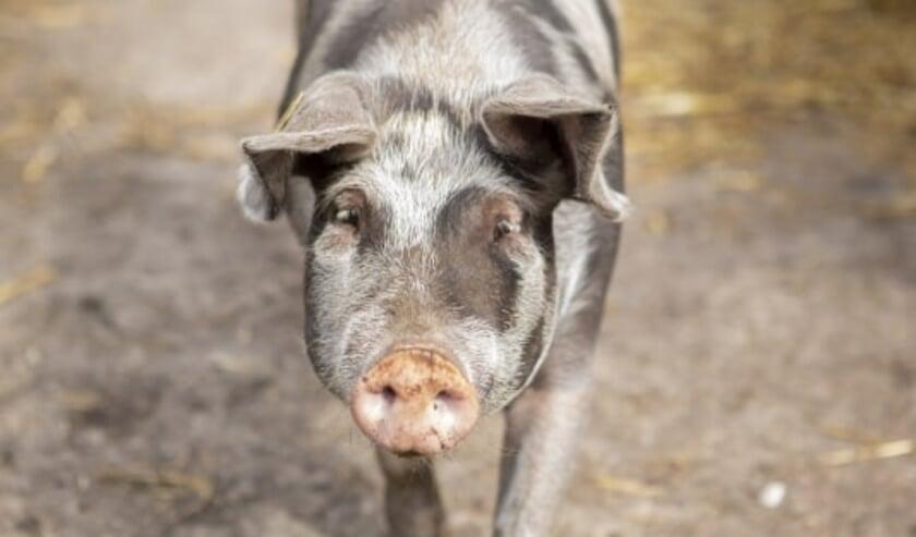 <p>E&eacute;n van de varkens van Boerderij Van Rossum. <em>Foto: Sabine Grootendorst/Varkens in Nood</em></p>