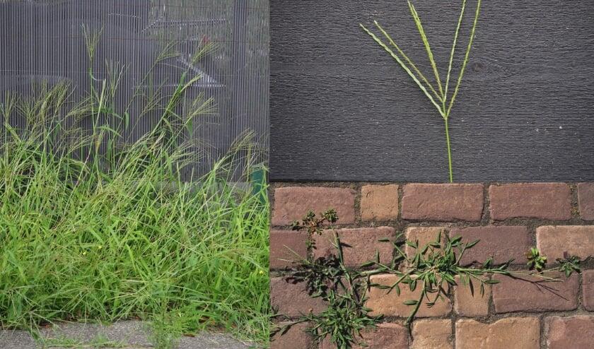 Sommige planten groeien graag tussen de voegen van tegels.