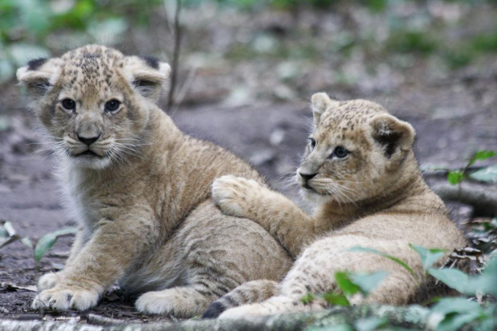 De leeuwenfok in dierenparken verloopt voorspoedig. In het wild is het een minder goede situatie. Foto:Koninklijke Burgers' Zoo © DPG Media